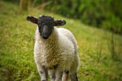 Le noir a fait face à l'agneau dans Buttermere Images libres de droits