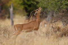 Le noir a fait face à l'impala Image libre de droits