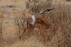 Le noir a fait face à l'impala Photographie stock