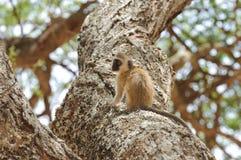 Le noir a fait face au singe de Vervet dans Tarangire Photographie stock libre de droits