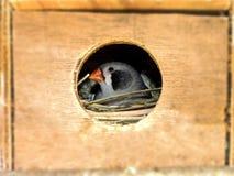Le noir femelle cheeked le pinson de zèbre dans sa boîte d'élevage Photos libres de droits