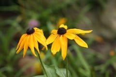 Le noir humide a observé des fleurs de Susan sous la pluie Photo libre de droits