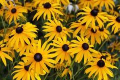 Le noir a observé des fleurs de susan Images stock