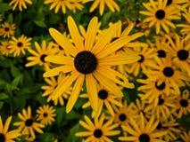 Le noir a observé des fleurs de susan image libre de droits