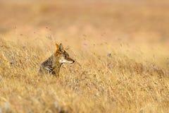 Le noir a soutenu le chacal reposé dans la prairie sèche photographie stock libre de droits