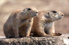 Le noir a suivi la marmotte de prairie Image stock