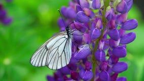 Le noir a veiné le papillon blanc sur des fleurs de loup banque de vidéos