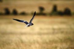 Le noir volant a épaulé le cerf-volant photos stock