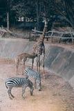 Le nourrisson de fils de son ` s de maman est famille de camelopardalis de Giraffa d'espèce Images libres de droits