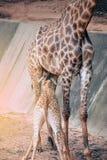 Le nourrisson de fils de son ` s de maman est famille de camelopardalis de Giraffa d'espèce Photographie stock