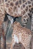Le nourrisson de fils de son ` s de maman est famille de camelopardalis de Giraffa d'espèce Photographie stock libre de droits
