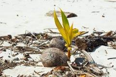 Le nouveau bourgeon d'une noix de coco Photo libre de droits