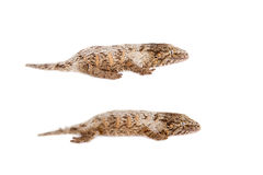 Le nouveau gecko géant calédonien sur le blanc image libre de droits