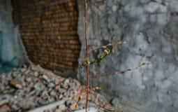 Le nouveau jeune fond d'arbre a détruit la maison à la catastrophe de Chernobyl, Photos stock