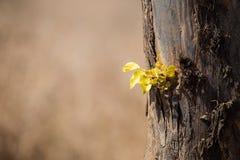 Le nouveau vert laisse l'élevage du vieux tronc d'arbre Photos stock
