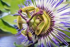 Le noyau de la fleur de passiflore (fin) Images libres de droits