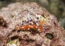 Le nudibranch d'exoptata de Flabellina rampe sur le corail de Bali photographie stock