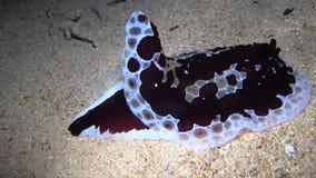 Le nudibranch géant Pluarybrach a été trouvé pendant le piqué de nuit banque de vidéos