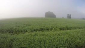 Le nuvole della foschia e dell'alba dell'estate di primo mattino sul seme di ravizzone sistemano Timelapse 4K archivi video