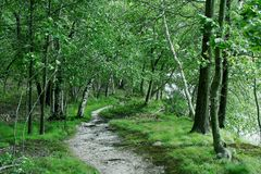 leśny brzozy drzewo. Obraz Stock