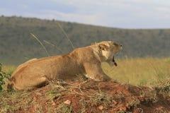 Le?o de Famale que encontra-se na grama seca que descansa e que boceja em Masai Mara, Kenya imagens de stock