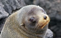 Le?o de mar que descansa em uma rocha Sua escala estende do subarctic ?s ?guas tropicais do oceano global fotos de stock royalty free