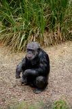 Le och hållande ögonen på zoobesökare för schimpans royaltyfri foto