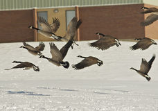 Le oche canadesi catturano il volo Immagini Stock Libere da Diritti