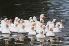 Le oche e le anatre bianche nuotano e si tuffano lo stagno Fotografia Stock Libera da Diritti
