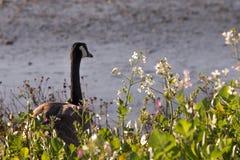 Le oche selvatiche che stanno nelle piante di vera dell'aloe vicino all'acqua fronteggiano Fotografie Stock