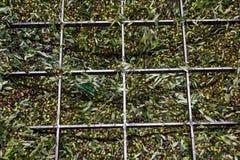 Le olive hanno scaricato nel saltatore della stampa, oleificio in Grecia immagini stock