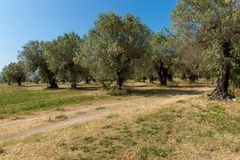 Le olive in Paestum immagini stock libere da diritti