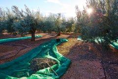Le olive strutturano nella rete e nella forcella di raccolto del raccolto Immagini Stock