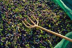 Le olive strutturano nella rete e nella forcella di raccolto del raccolto Fotografie Stock Libere da Diritti