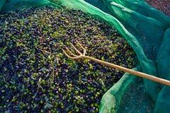 Le olive strutturano nella rete e nella forcella di raccolto del raccolto Fotografia Stock Libera da Diritti
