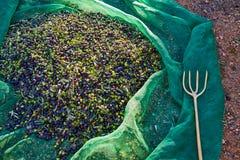 Le olive strutturano nella rete e nella forcella di raccolto del raccolto Immagine Stock