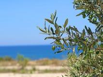 Le olive verdi con le foglie stanno appendendo su un albero che trascura il mare Immagine Stock