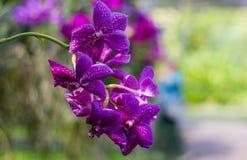 Le orchidee porpora di Vanda stanno fiorendo nel giardino immagine stock