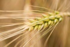 le orecchie del cereale si chiudono su Fotografia Stock Libera da Diritti