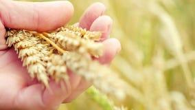 Le orecchie del grano in mani dell'agricoltore si chiudono su sul campo al rallentatore 1920x1080 video d archivio