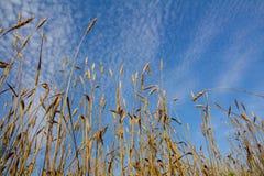 Le orecchie del grano maturano in un campo Fotografia Stock Libera da Diritti