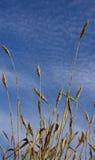 Le orecchie del grano maturano in un campo Fotografie Stock