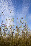 Le orecchie del grano maturano in un campo Immagini Stock