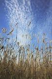 Le orecchie del grano maturano in un campo Immagine Stock Libera da Diritti