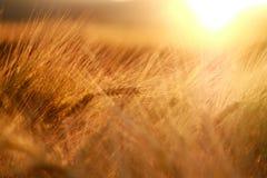Le orecchie del primo piano del giacimento di grano sul tramonto accendono il fondo Fotografia Stock Libera da Diritti