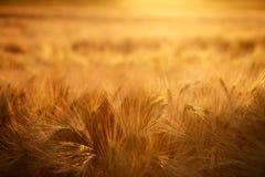 Le orecchie del primo piano del giacimento di grano sul tramonto accendono il fondo Fotografie Stock