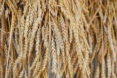 Le orecchie della segale si chiudono su Orecchie mature del secale cereale della segale nel campo Concetto della raccolta di autu Fotografia Stock Libera da Diritti