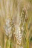 Le orecchie di grano non è ancora pronte per il raccolto Immagine Stock Libera da Diritti
