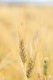 Le orecchie di grano non è ancora pronte per il raccolto Immagine Stock