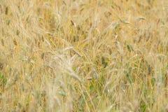 Le orecchie di grano non è ancora pronte per il raccolto Immagini Stock Libere da Diritti